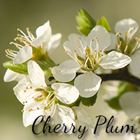 Cerry Plum